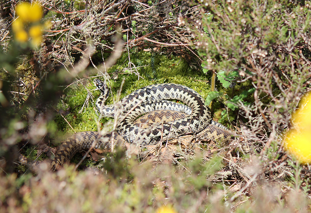 Adders Courting