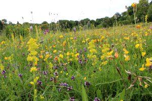 Chalk Grassland Meadow