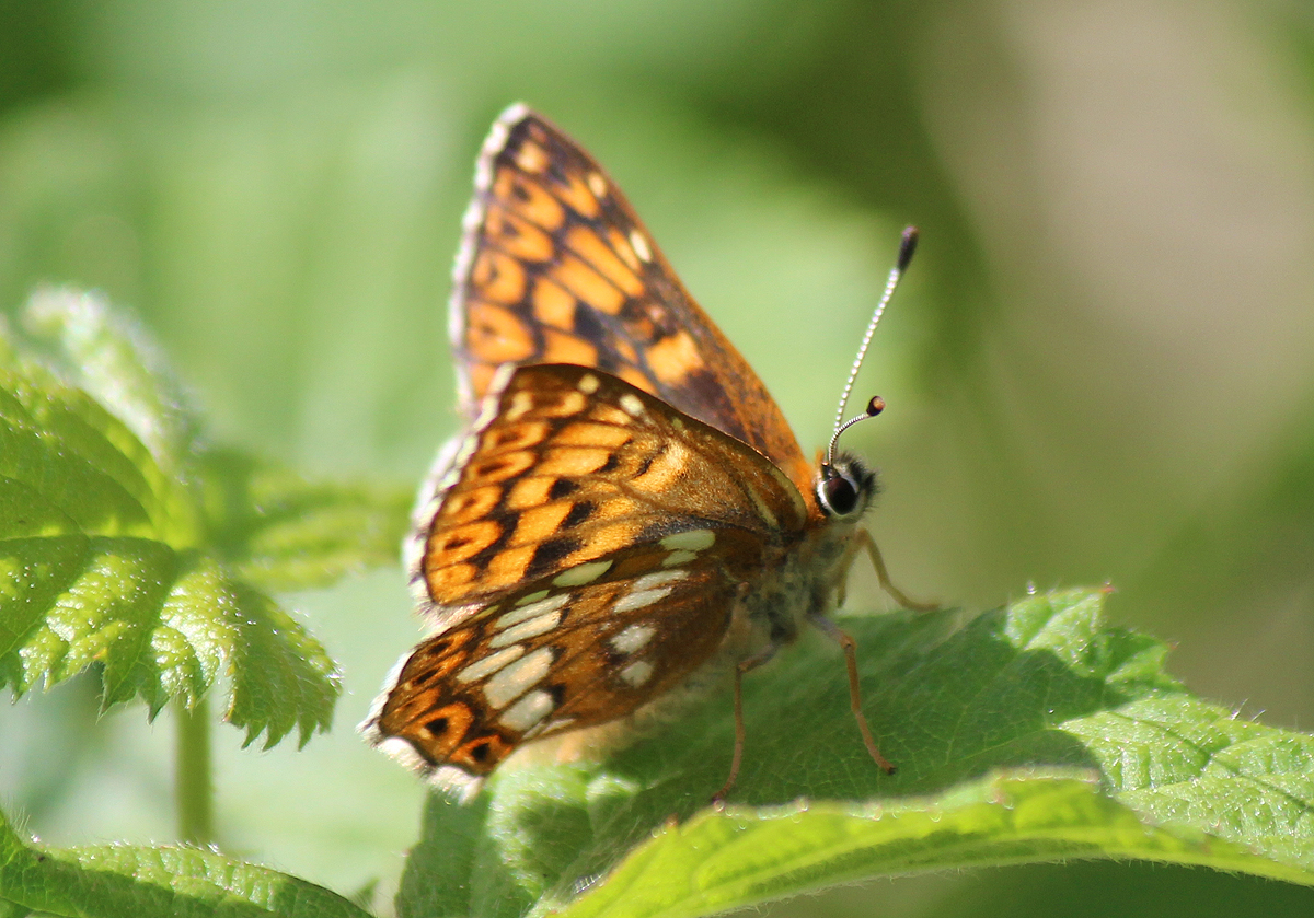 Duke of Burgundy Butterfly at Ivinghoe Beacon in the Chilterns