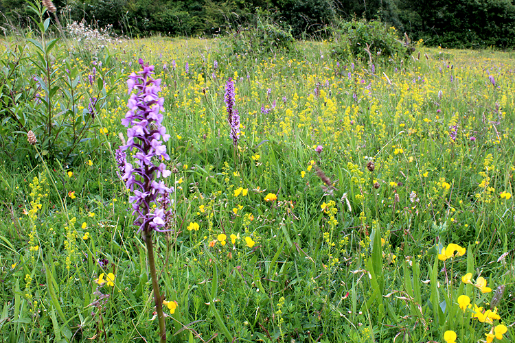Patch of Chalk Fragrant Orchids