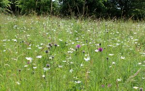 Unimproved Meadow at Homefield Wood