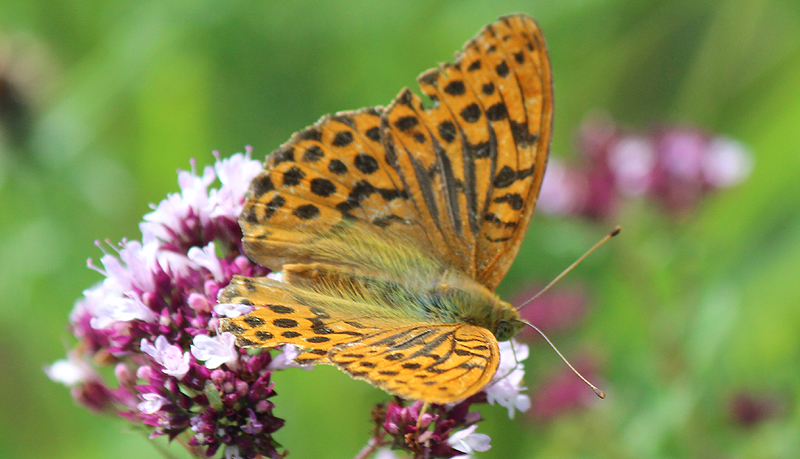 Silver Washed Fritillary