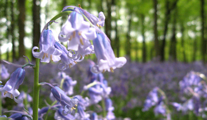 Bluebells in Dockey Wood