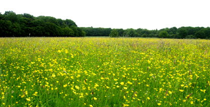 Buttercup Meadow on the Chiltern Way Footpath