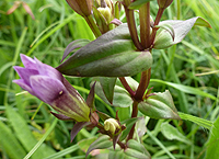 Chiltern Gentian Flower, Stem and Petals