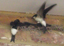 House Martins Return to Nest in the Chilterns